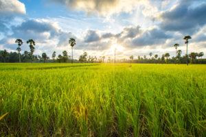 exportação de arroz